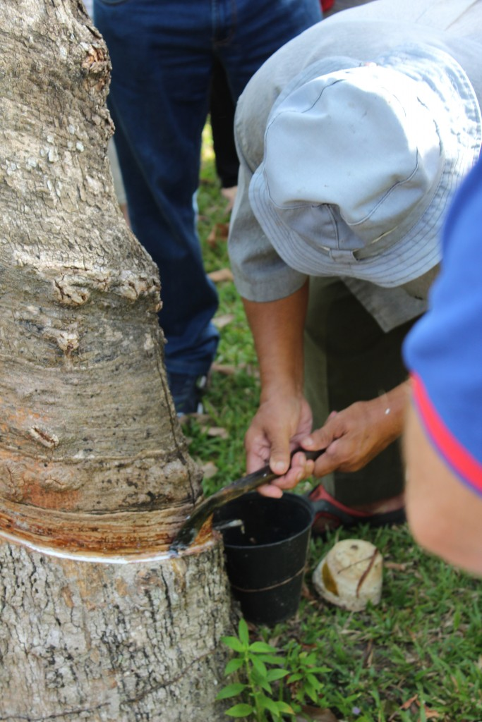 The tapper uses a sharp blade to form a conduit for the rubber sap.