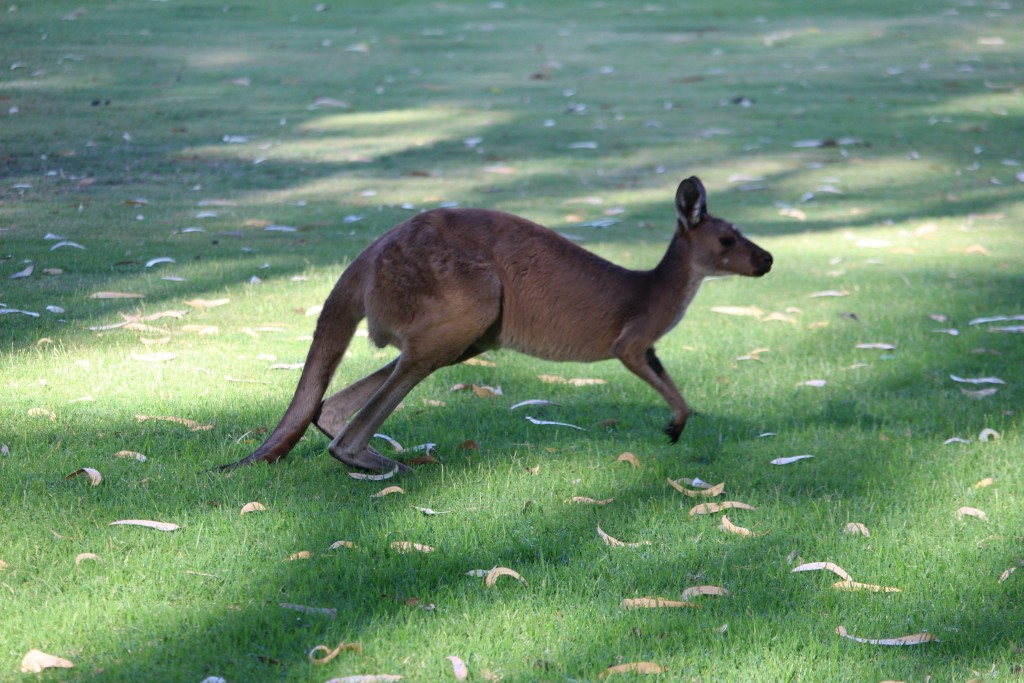 A large kangaroo on the move.