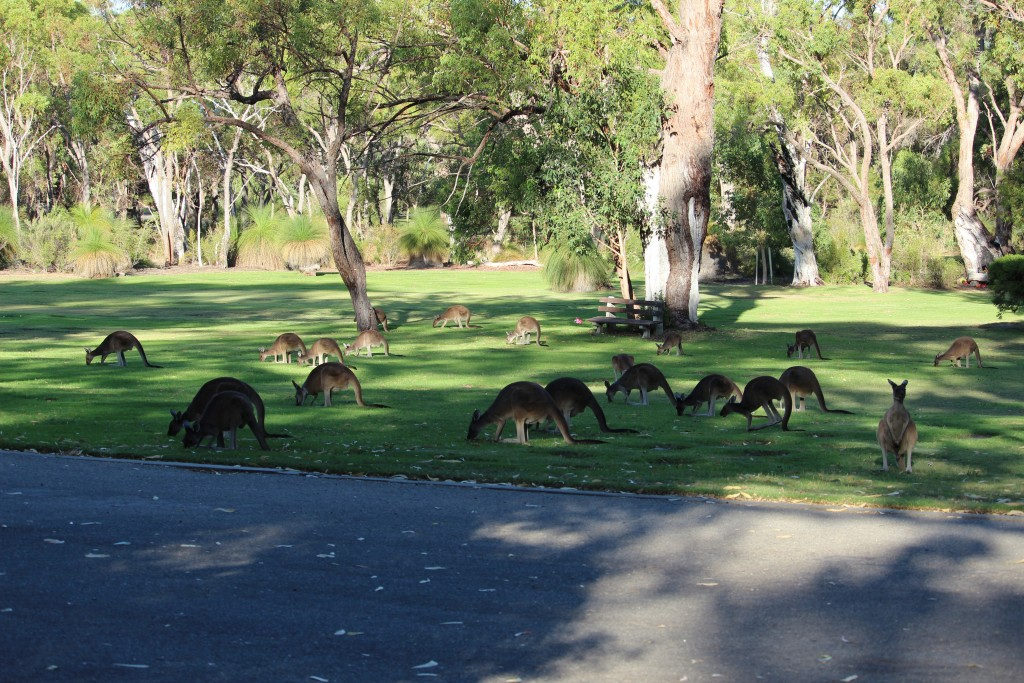 We saw about three dozen kangaroos in this location.