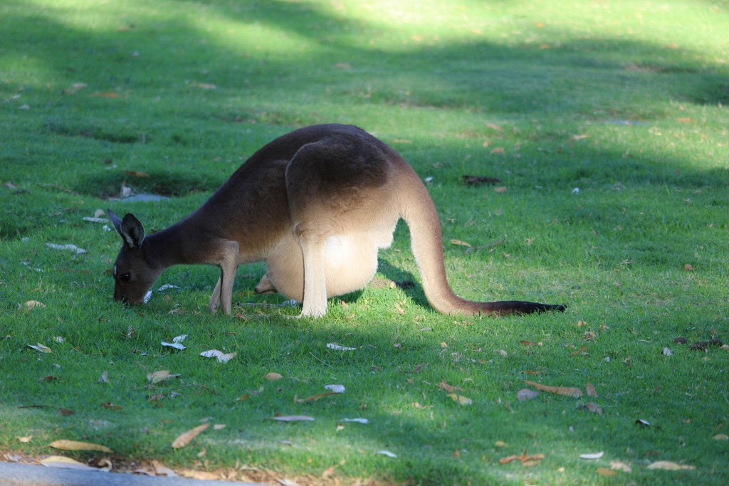 A mama roo with a joey in her pouch.