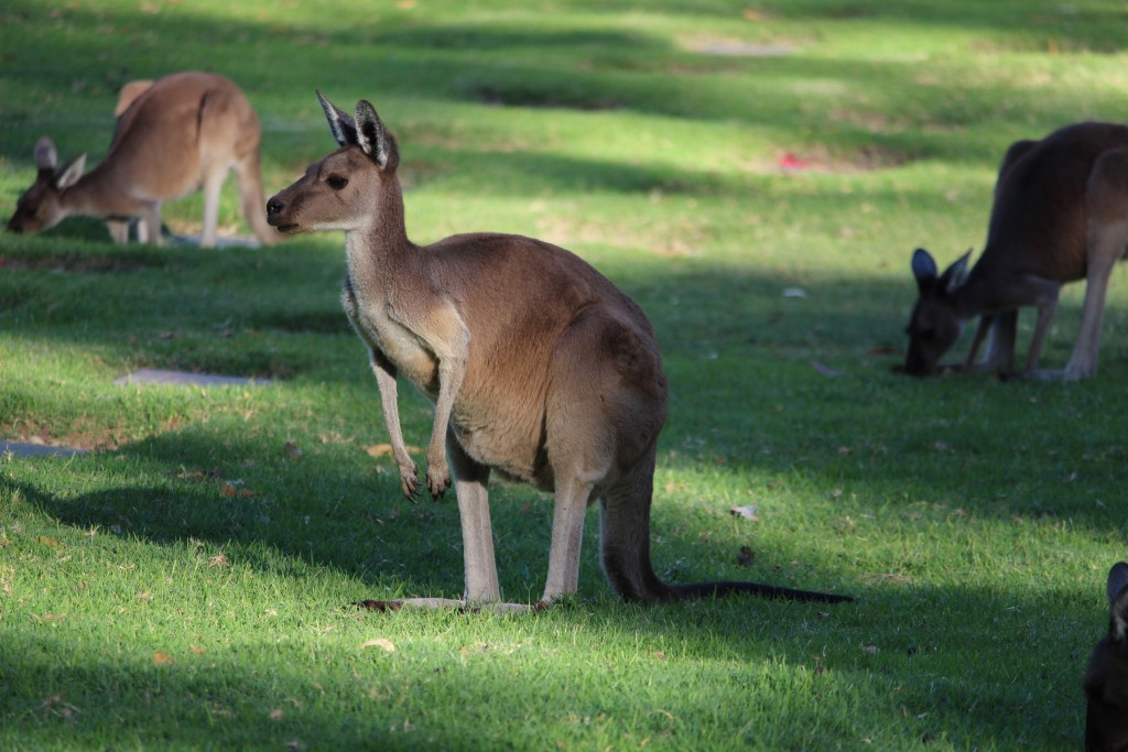 When a car goes by, the kangaroos often lift their heads up from their grazing and watch the cars go by.
