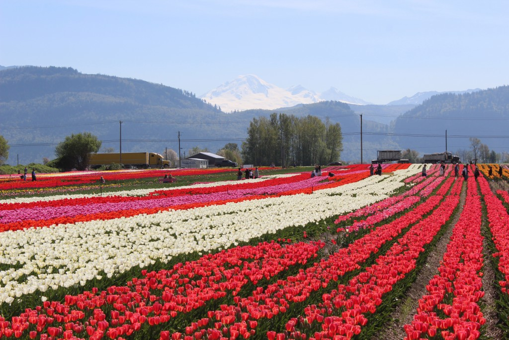 Mount Baker forms a great backdrop to the tulip fields.