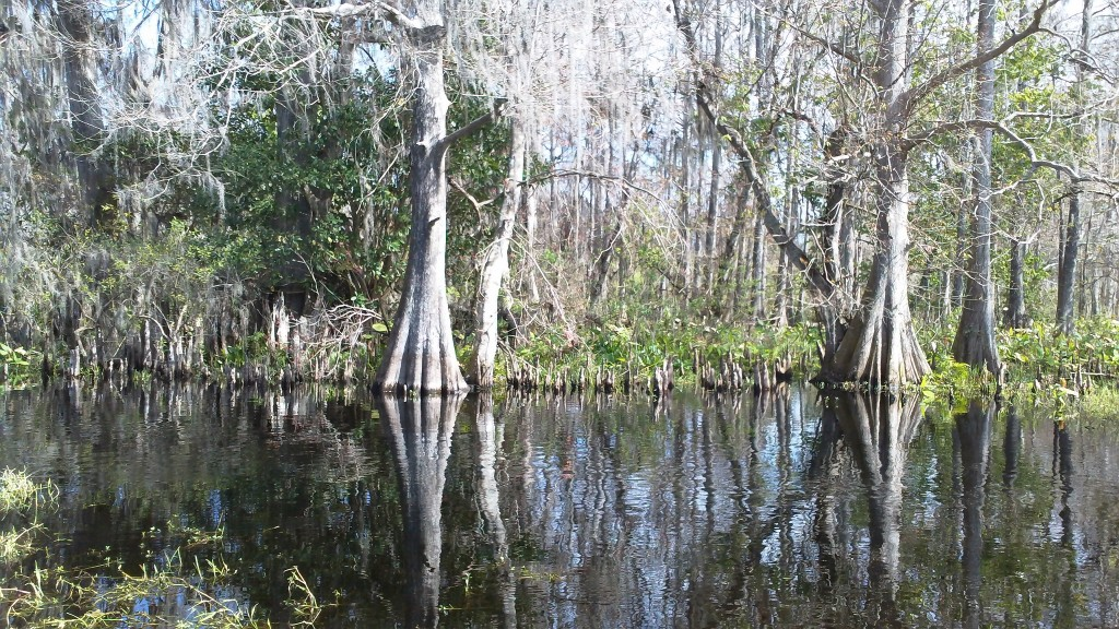 A cypress grove up Dead Man's Creek. Notice the cypress knees, natural snorkels that bring air to the tree roots.