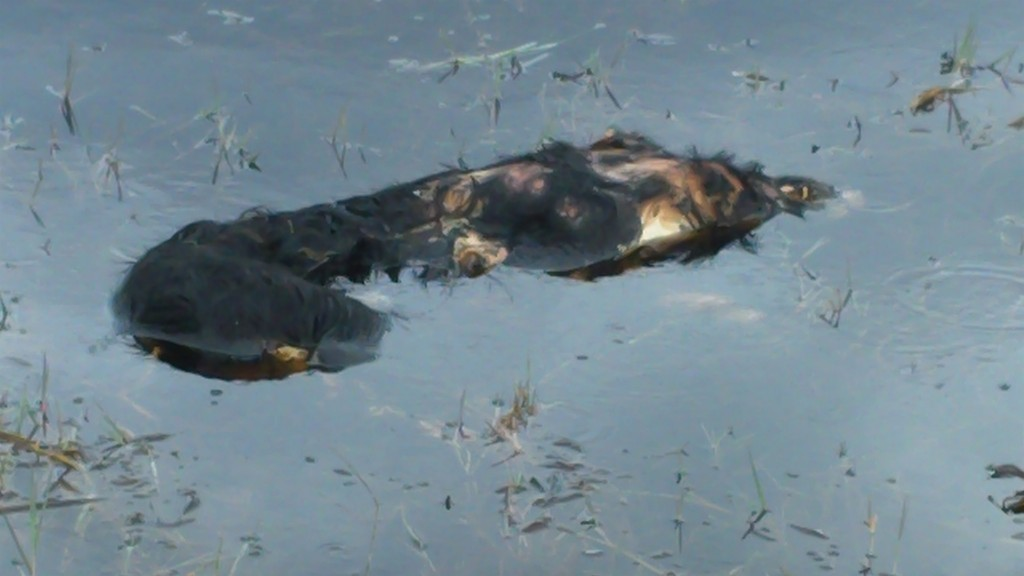 Eeeoooh! The carcass of a wild boar floating in the reeds. The alligators will strip the carcass as it decomposes.
